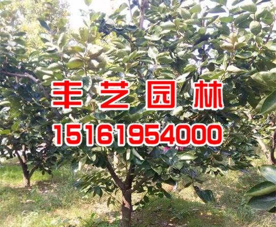 大丰柿子树