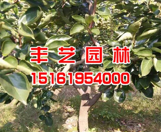 柿子树价格