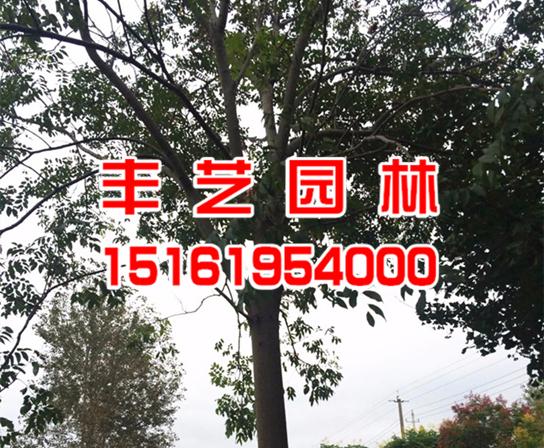 栾树树苗价格