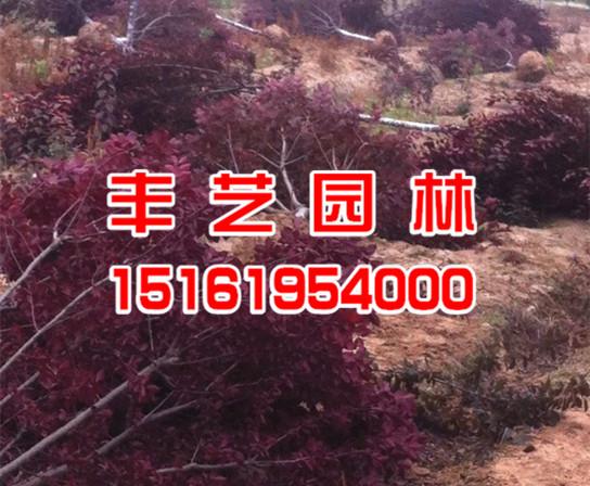 红叶李价格