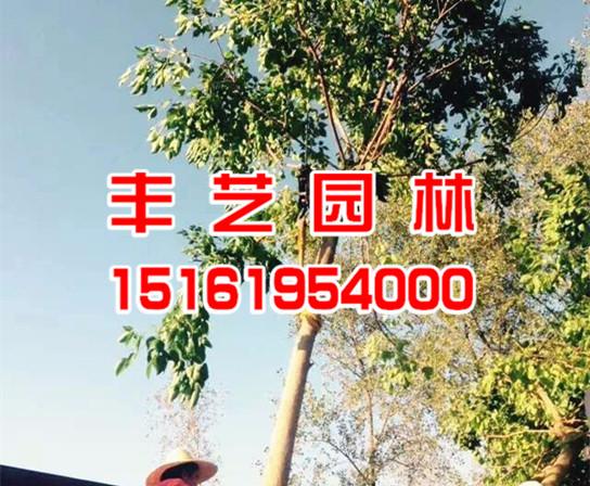重阳木树苗