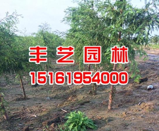 中山杉树苗