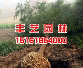 水杉种植基地