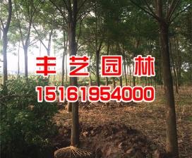 重阳木价格