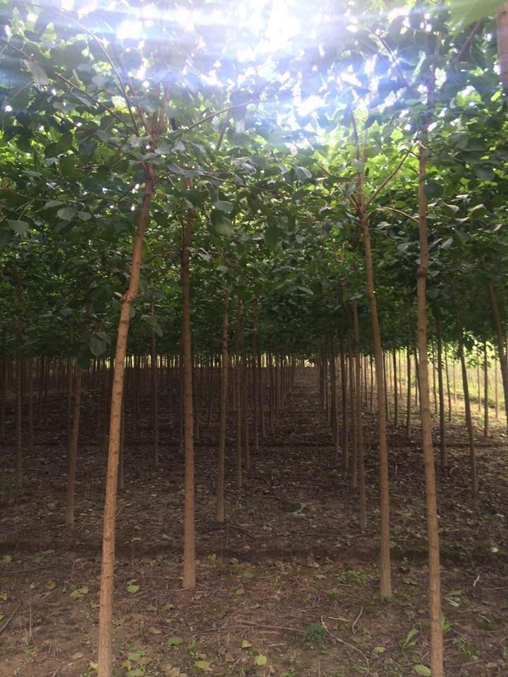 银杏种植基地